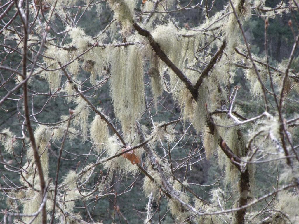 Fructicose lichen