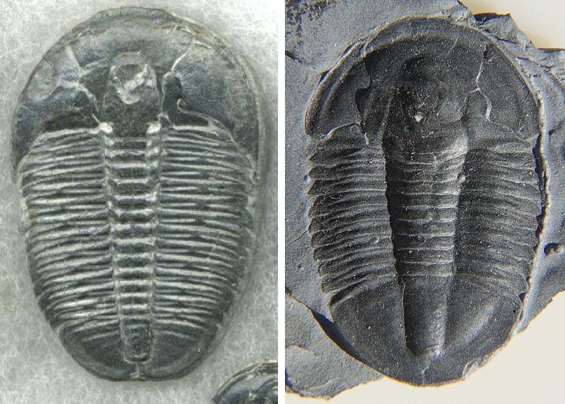 Text Box:    The most common trilobites of the Wheeler Shale. Left is Elrathia kingii and right is Asaphiscus wheeleri. Image credits: John Alan Elson and Wikipedia user Dwergenpaartje. Licensed under GFDL and CC BY-SA3.0.